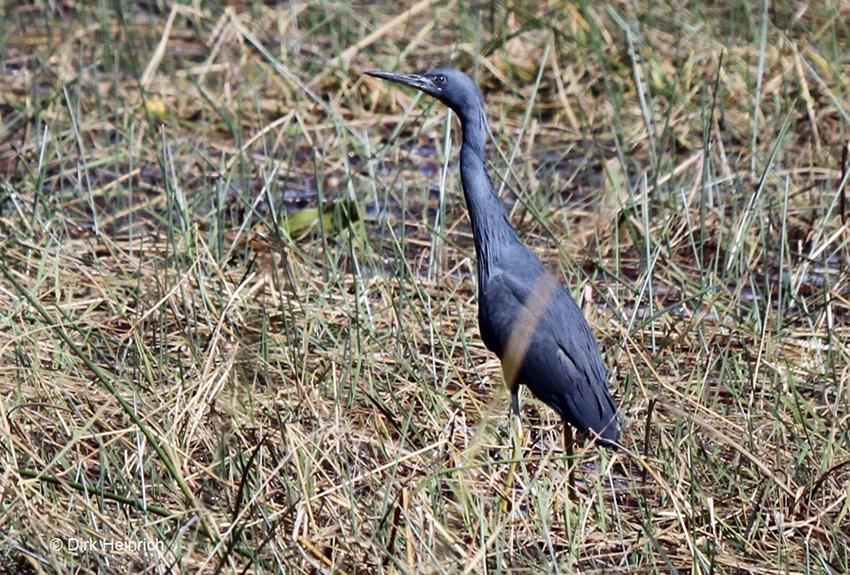 Braunkehlreiher Namibia