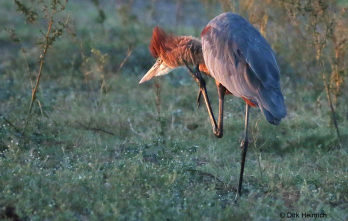 Goliathreiher Namibia