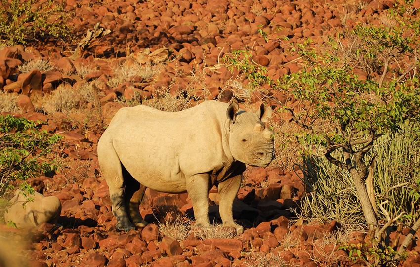 Nashorn im Palmwag-Naturschutzgebiet
