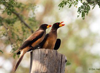 Gelbschnabel-Madenhacker, Namibia