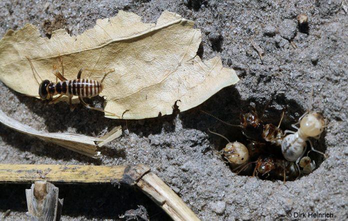 Grasschneidetermiten, Namibia