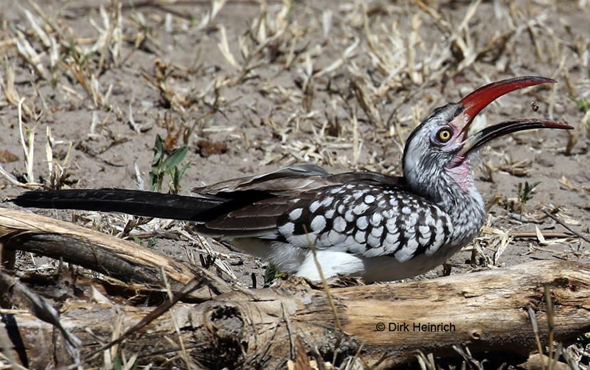 Rotschnabeltoko, Namibia