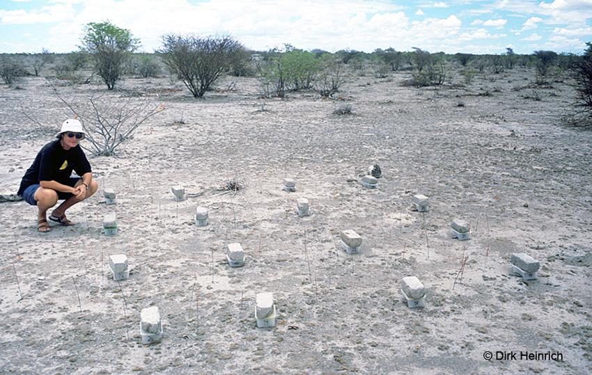 Grasschneidetermiten Forschung