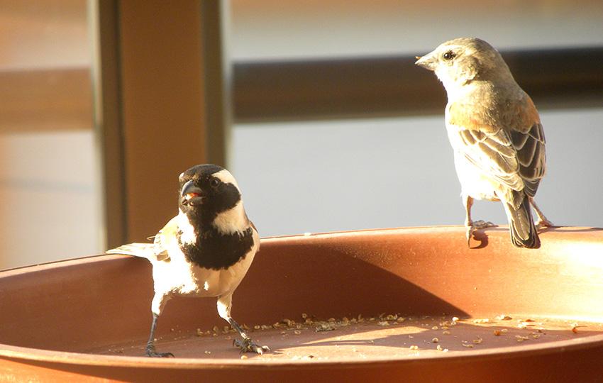 Kapsperling, Swakopmund