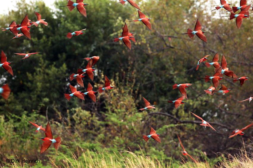 Sambesi Zugvögel
