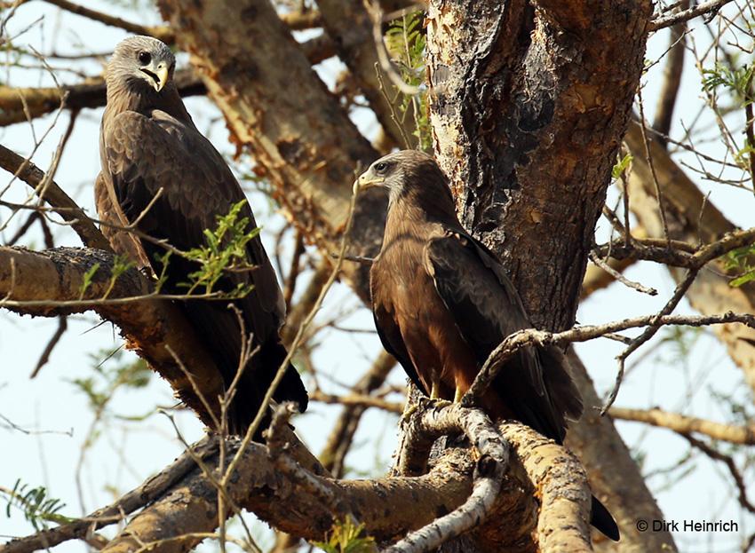 Schmarotzermilan, Namibia