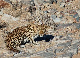 Leopard im Gondwana Canyon Park