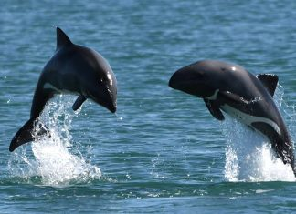 Heaviside-Delfin, Namibia