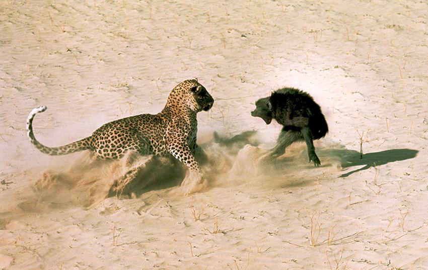 Leopard und Pavian