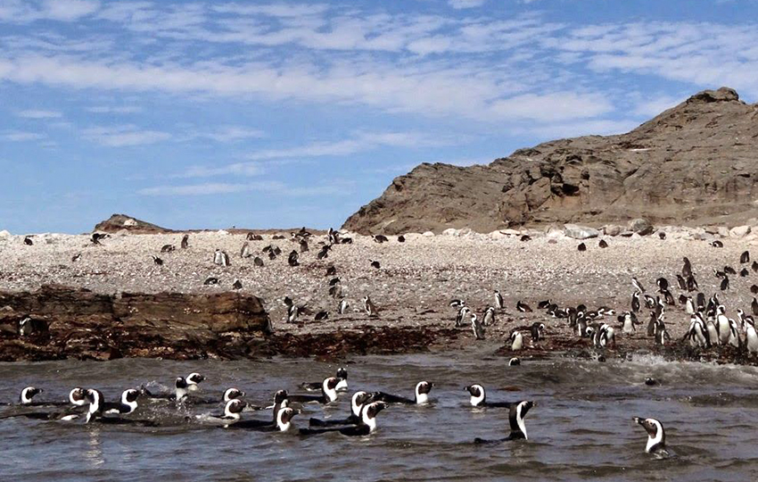 Pinguine, namibische Küste