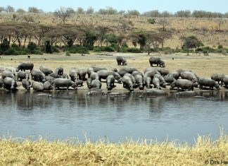 Chobe Flusspferde