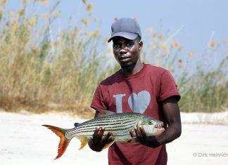 Tigerfisch Sambesi