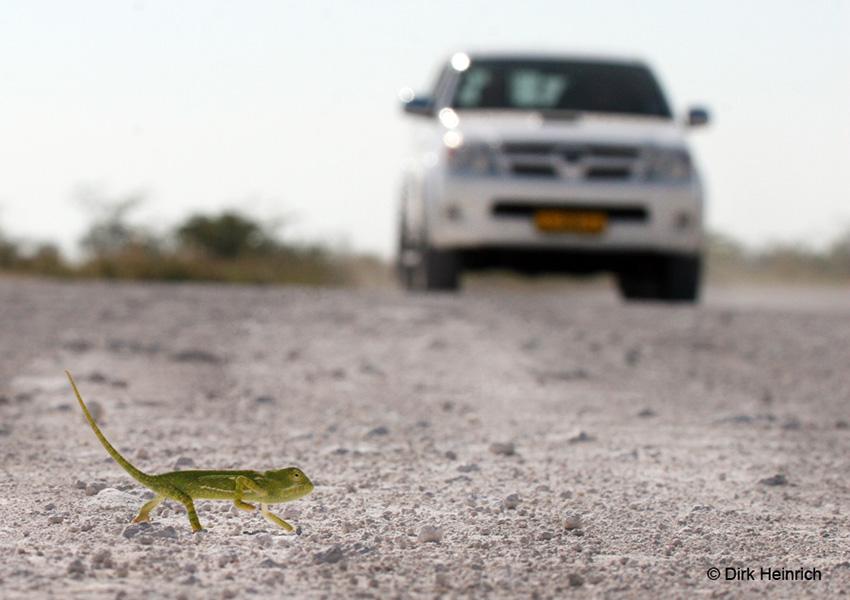 Chamäleon auf namibischer Straße