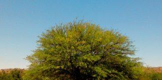 Prosopis-Baum, Namibia