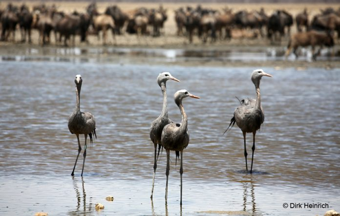 Paradieskraniche Namibia