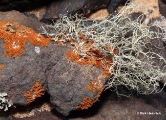 11 Xanthodactylon cf. inflatum, Geschwollener Goldfinger Ramalina angulosa Grüne Haarflechte