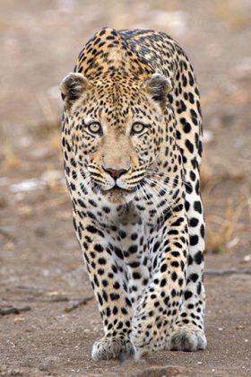 Laufender Leopard