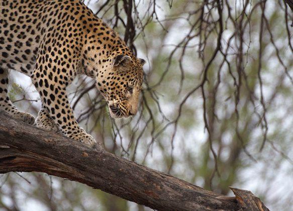 Leopard im Baum