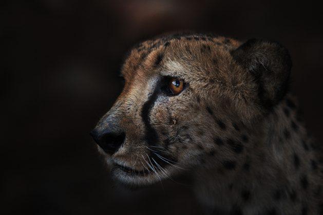 Gepard im Dunkeln