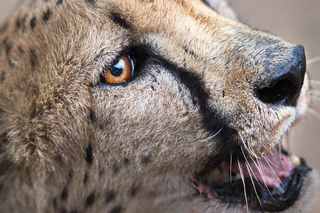 Gepard Gesicht Nah