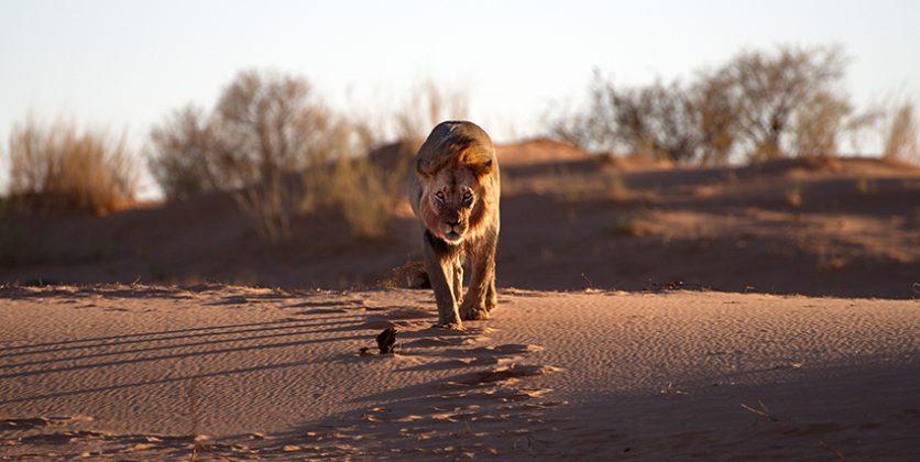 Löwin auf der Düne