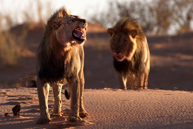 Löwen auf der Düne