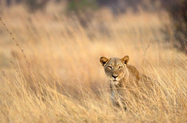 Löwenweibchen im Gras