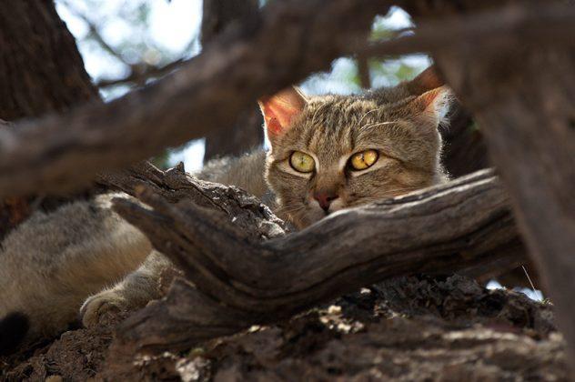 Scheue Wildkatze im Baumversteck