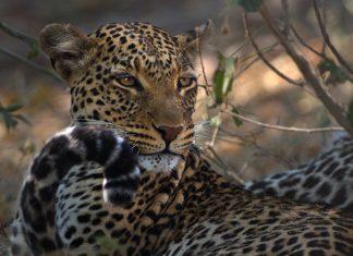 Leopardenschwanz