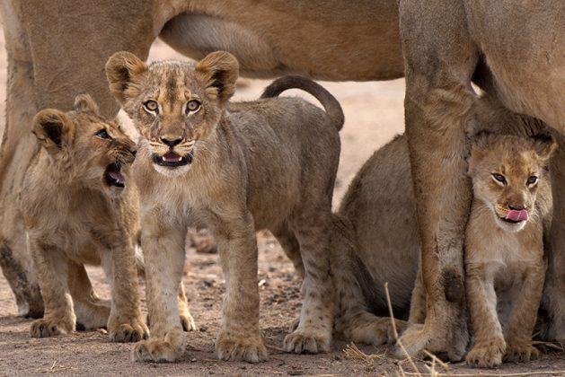Löwen babies mit Mutter