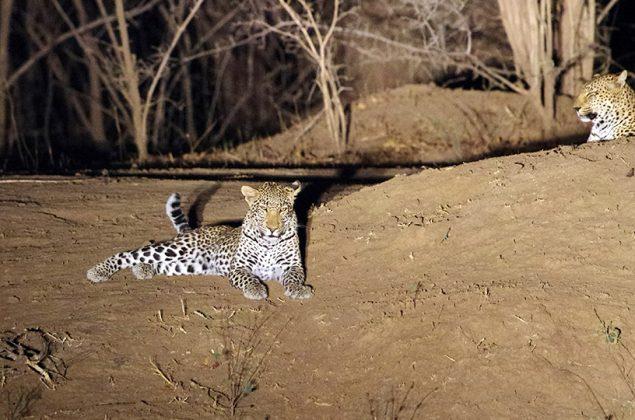 Leopard liegt auf dem Boden
