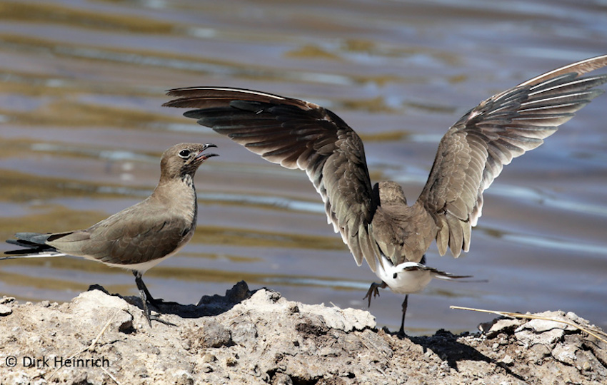Zambezi Vögel