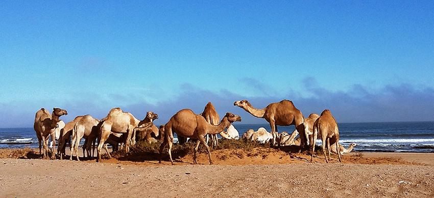 Kamele Swakopmund