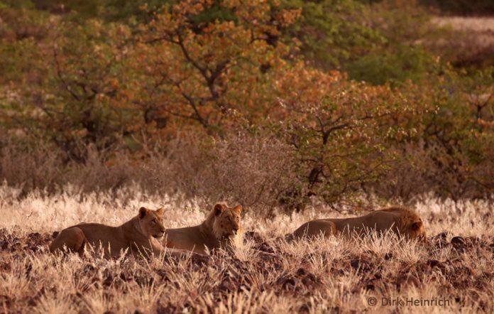 Löwen Namibia