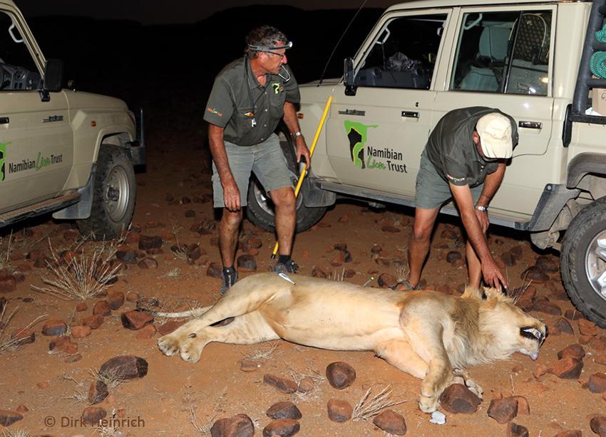 Löwe betäubt