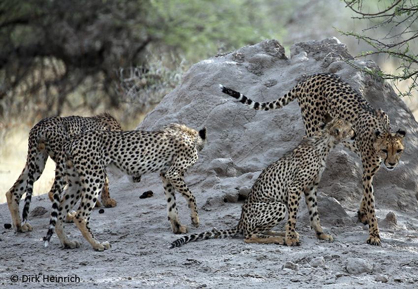 Geparden Etosha