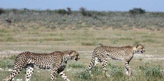 Geparde Etosha