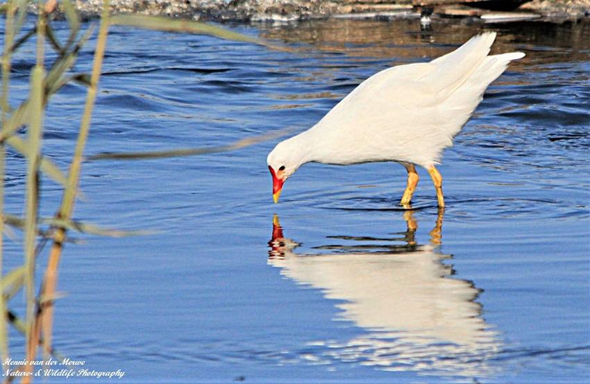 Weißes Teichhuhn Walvis Bay
