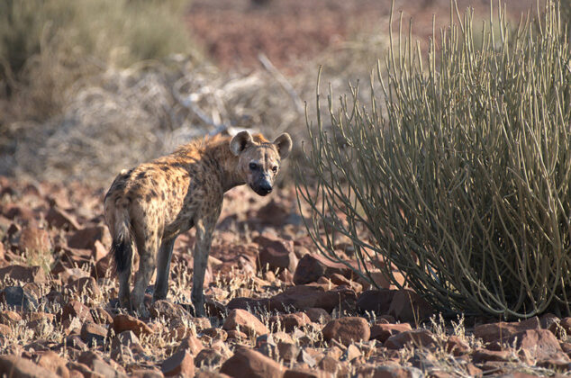 Hyäne, Namibia