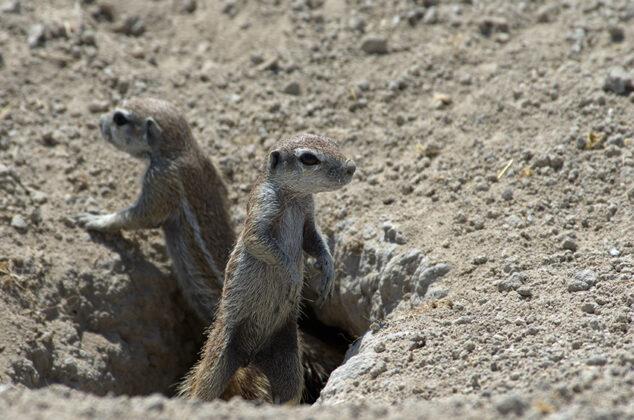 Erdhörnchen, Namibia