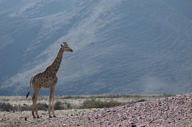 Giraffe, Namibia