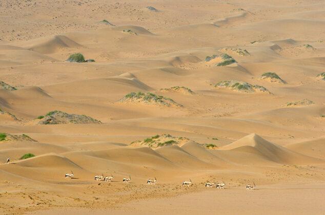 Oryxantilopen, Namibia