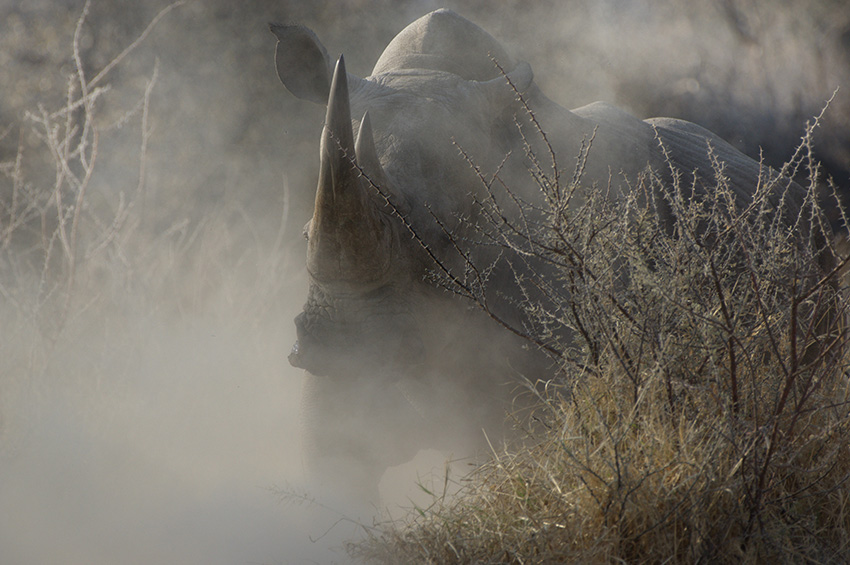 Nashorn, Namibia