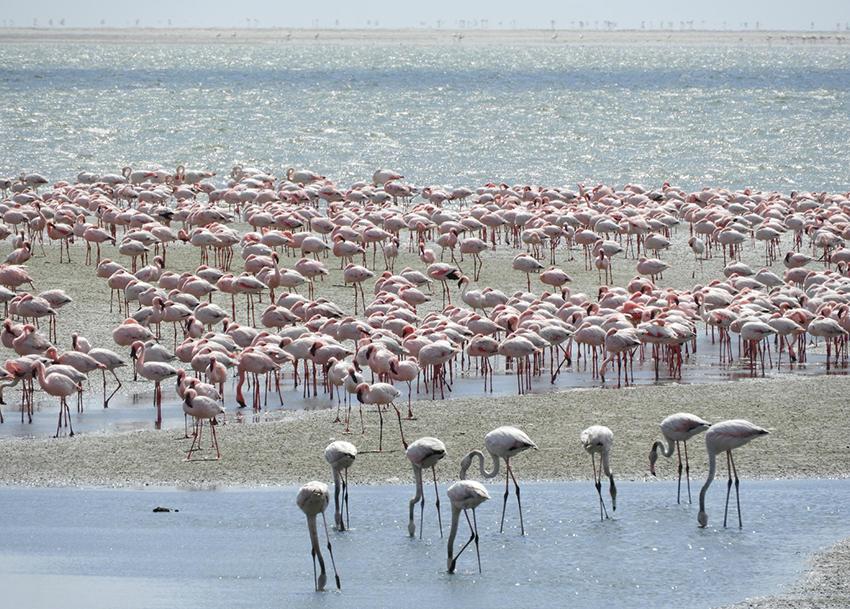 Flamingos, Lagune von Walvis Bay