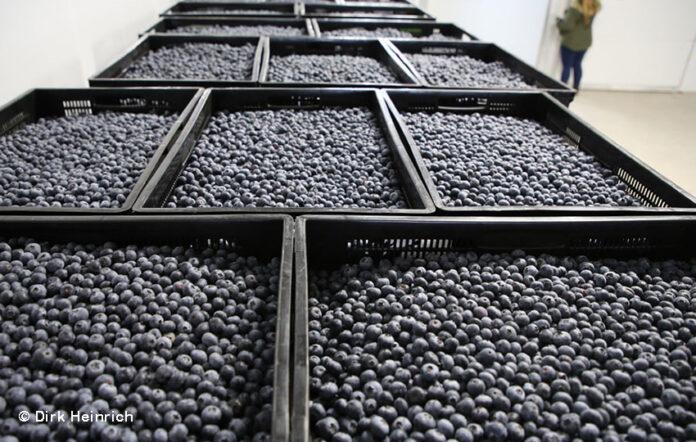 Namibia, Mashare Berries Farming, Blaubeeren