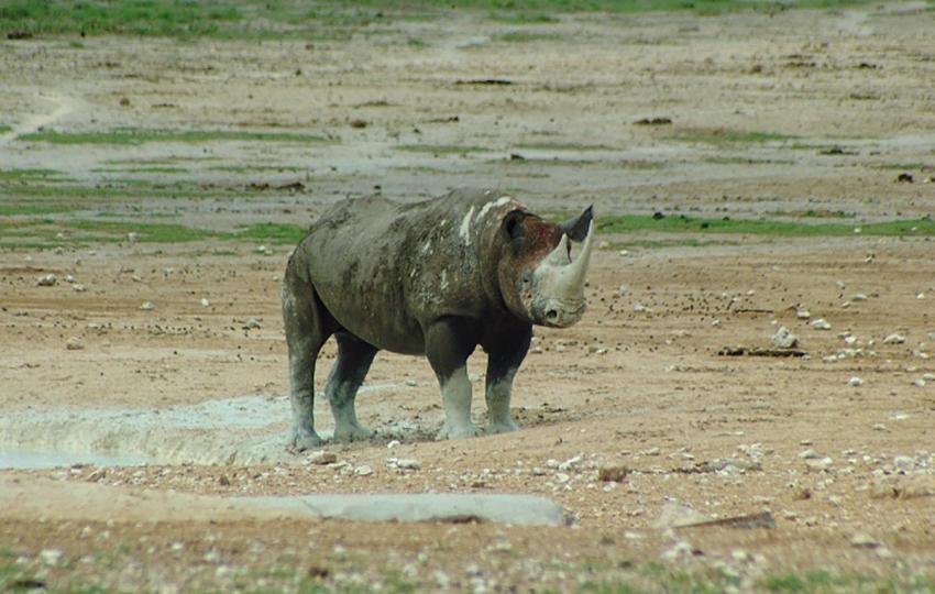 Schwarzes Nashorn in Etosha
