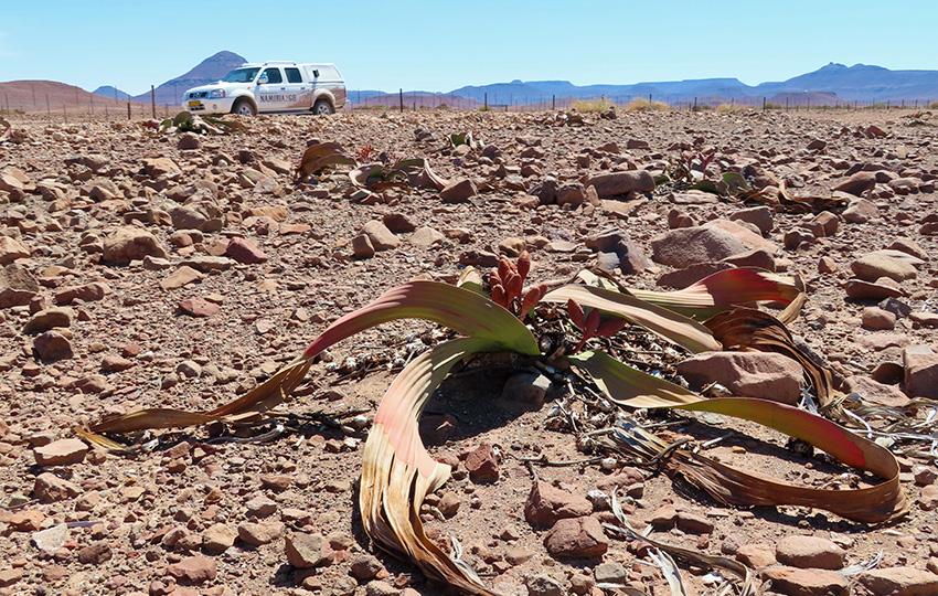 Welwitschia, Namibia