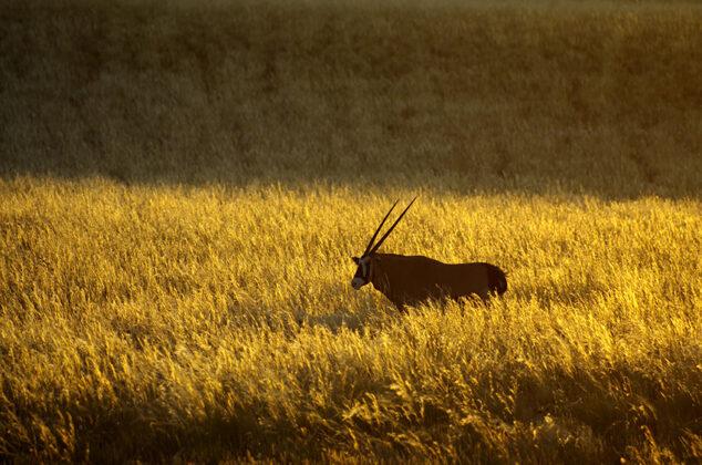 Namibia, Oryxantilope
