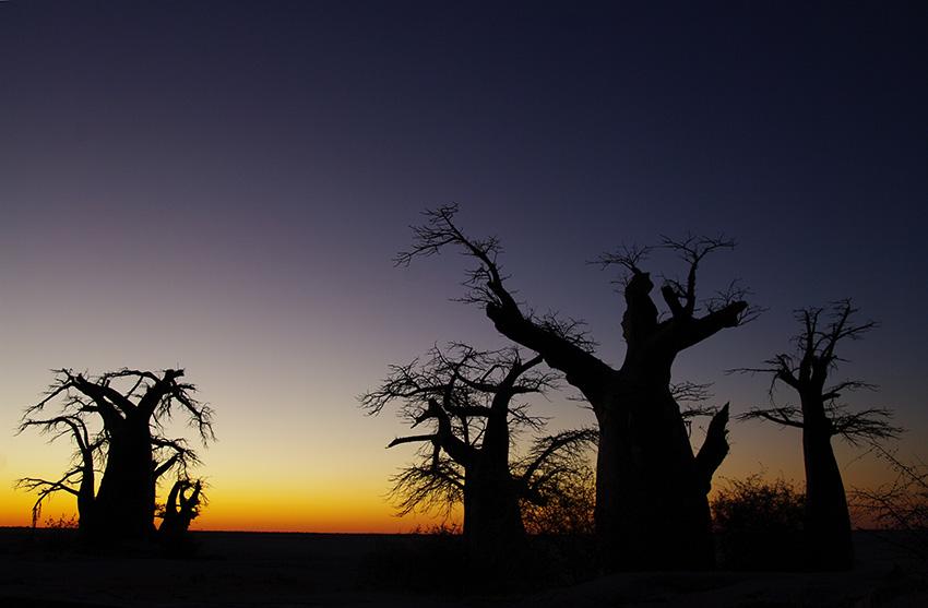 Namibia, Bäume