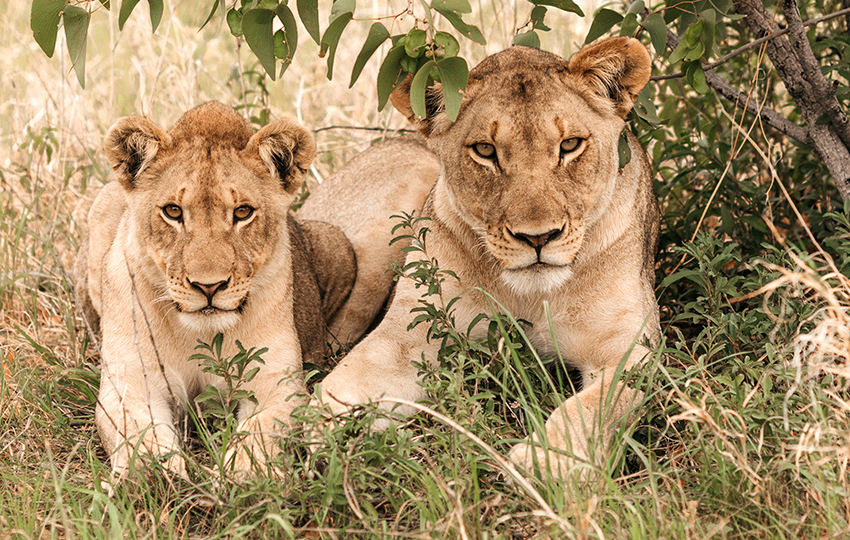Löwen, Etosha